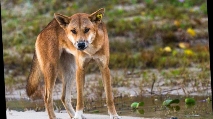 Don't feed dingoes in Australia or you could get £5,600 fine under tough new law – The Sun