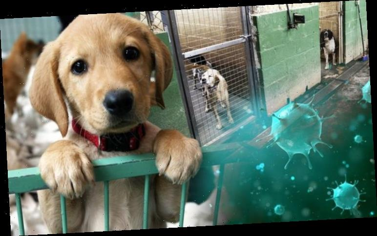Coronavirus in dogs: Is it safe to put dogs in kennels?