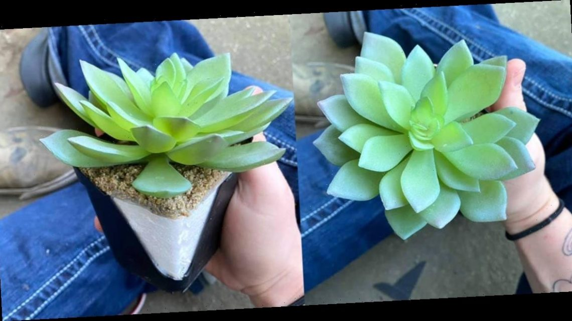 A woman discovered that the 'perfect' succulent she has been watering for years is actually fake