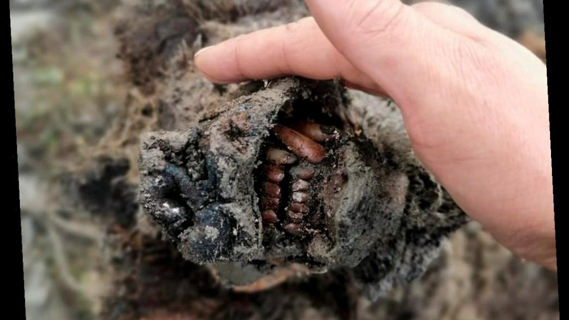 Reindeer Herders Discover 'Completely Preserved' Ice Age Cave Bear in Russia