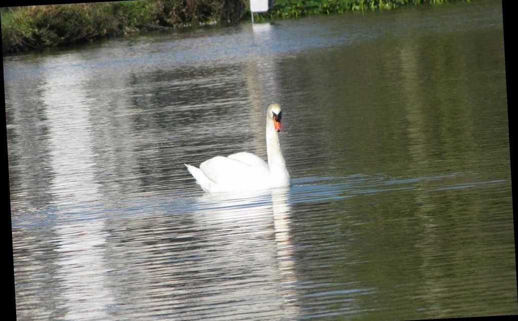Florida city selling swans because of overpopulation