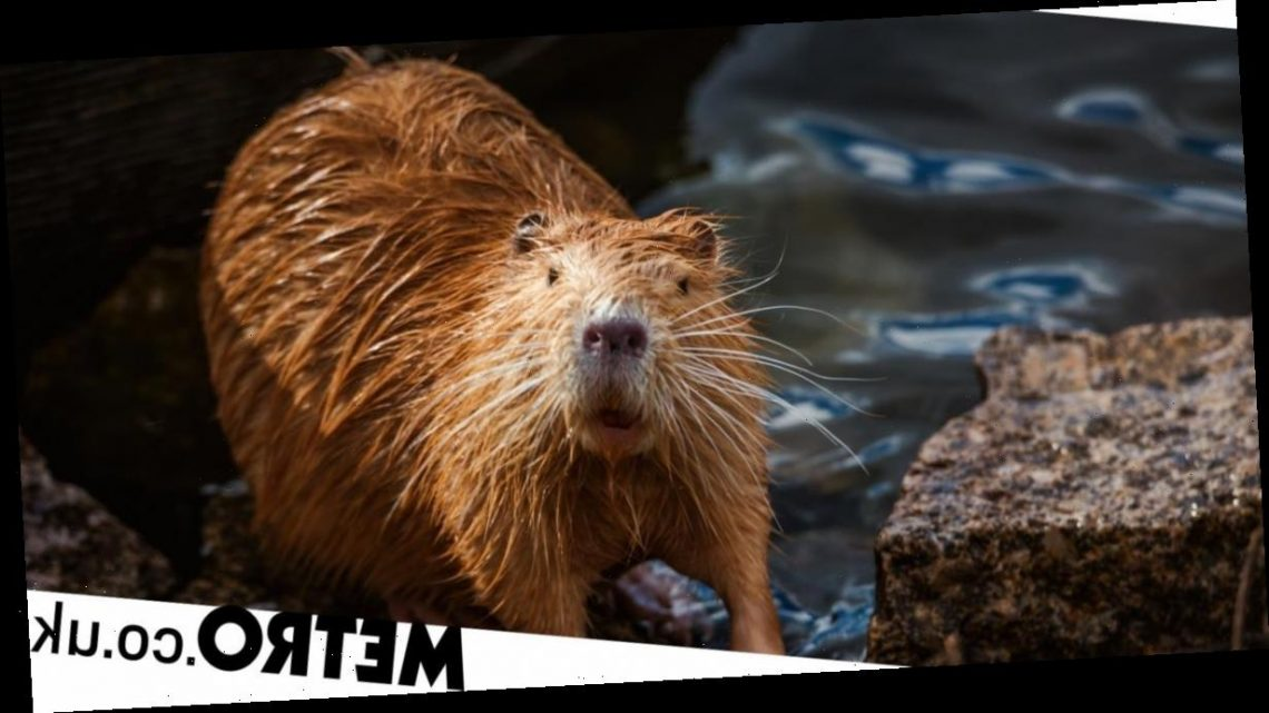 Where does vanilla flavouring come from and why is it related to beavers?