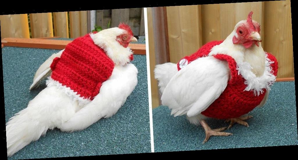 You Can Get a Christmas Sweater for Your Chicken, So They Can Be Cozy and Festive Too