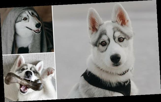 Husky looks like she's wearing permanent glasses thanks to fur pattern