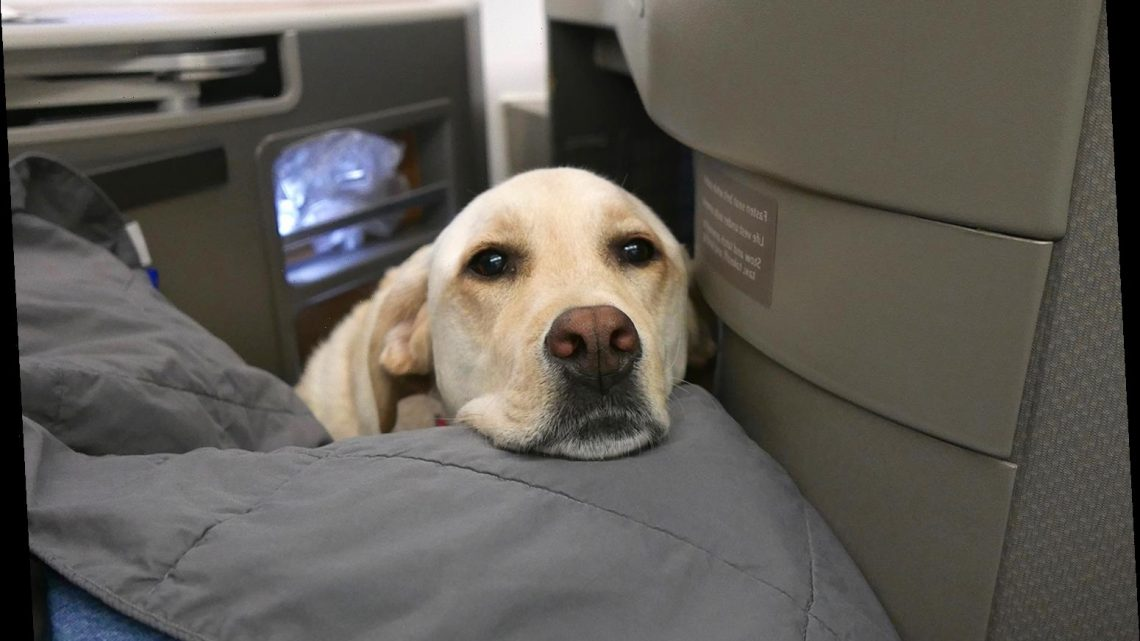American Airlines Will No Longer Allow Emotional Support Animals