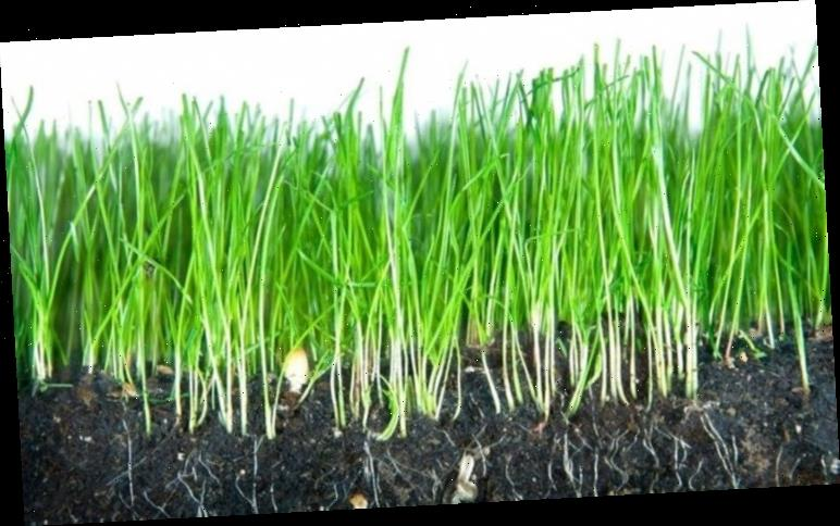 How to remove weeds from grass lawn: Tips to restore garden