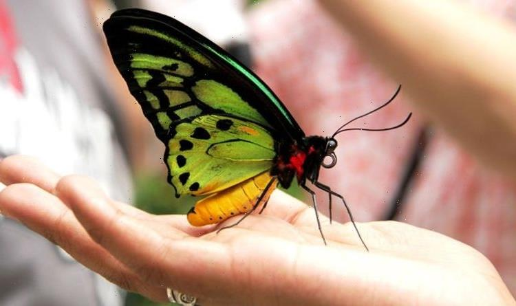 Green Britain: British experts in race against time to save world's biggest butterfly