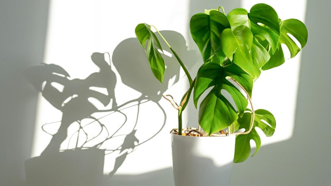 How To Take Care Of A Monstera Plant