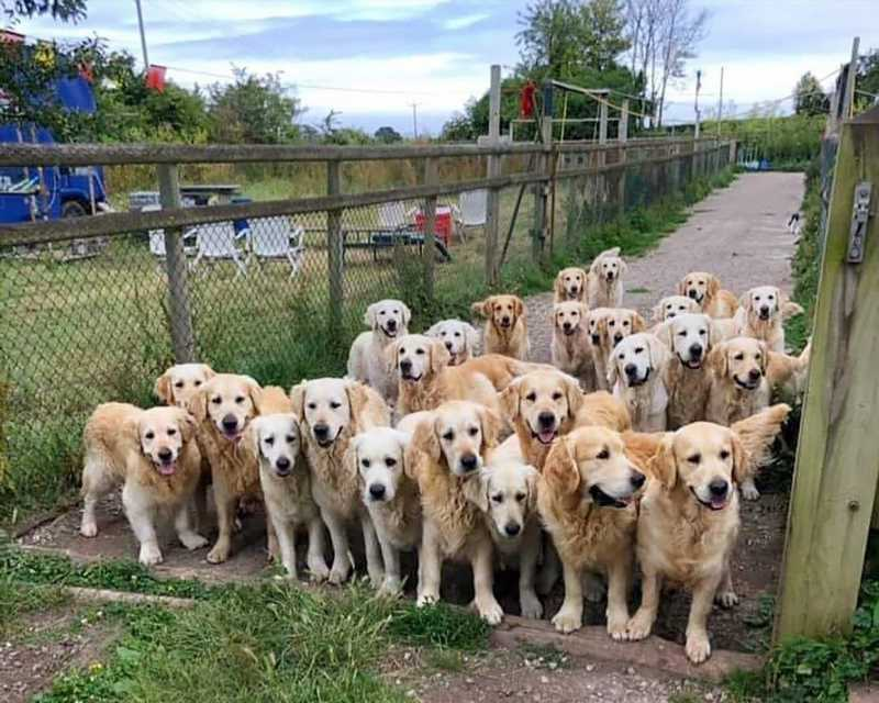 Best campsite ever? New 'Golden Retriever Experience' in Somerset lets you spend the night with 30 cute dogs
