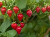 How to grow strawberries – 5 top tips for growing the best fruit