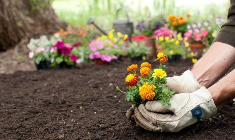 When to plant out marigolds – the best time to help your plants thrive