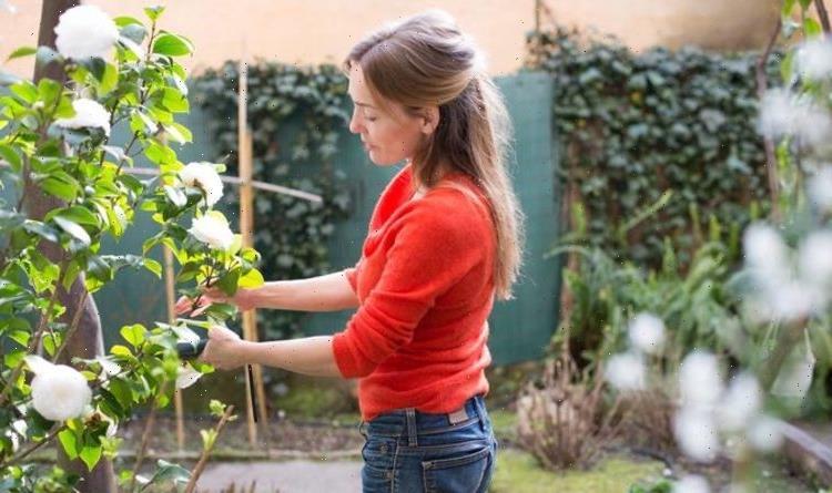 When to prune camellias – top tips for a perfect garden