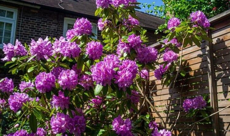 Do you deadhead rhododendrons?