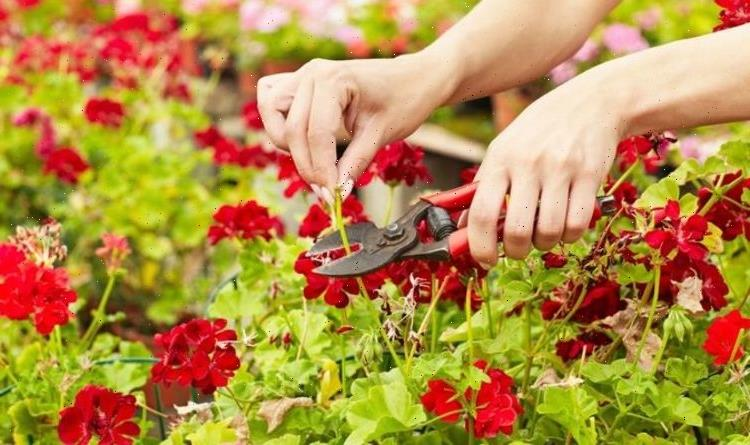 How to deadhead geraniums – best time, where to cut