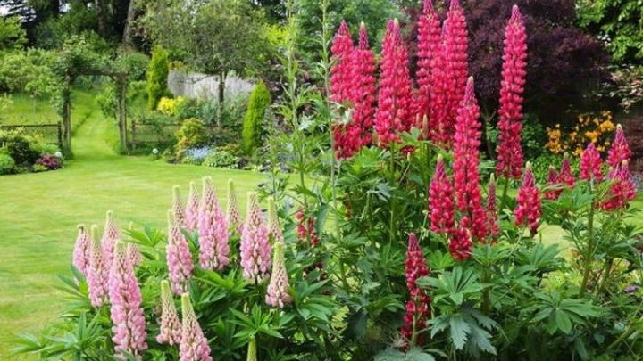 How to grow lupins – six top tips for these cottage favourites