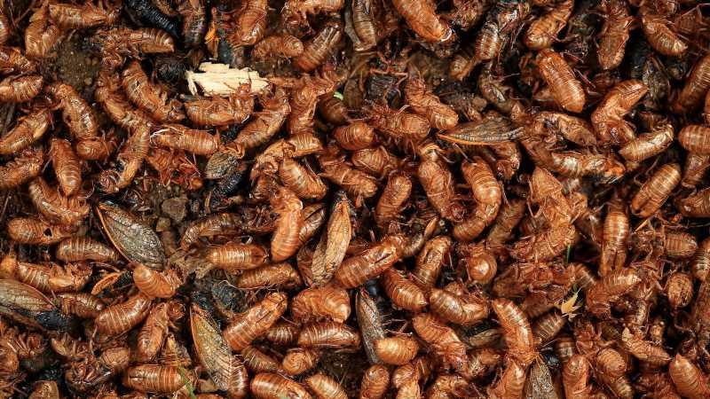 When You Eat Cicadas, This Is What Happens To Your Body