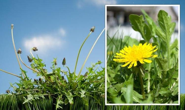 Gardening expert shares how to ensure your lawn doesn't 'always struggle against weeds'