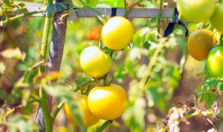 Yellow tomato plants: Why are my tomato leaves turning yellow? SEVERE condition explained