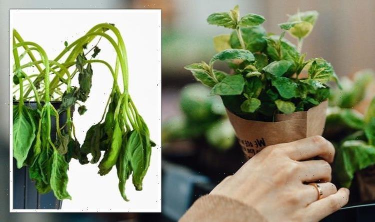 Gardening expert shares warning over buying supermarket herbs – 'might not grow!'