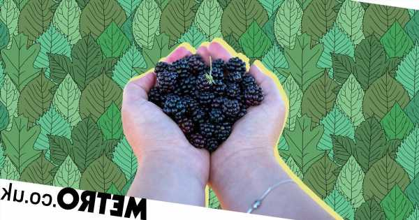 How to forage blackberries and what to make with them