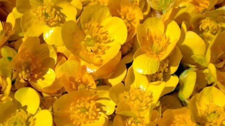 How to get rid of creeping buttercups – 3 easy ways to kill this weed
