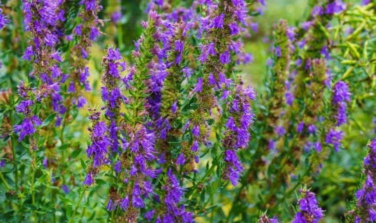 Gardeners' World share best tips for planting aromatic Hyssop – from pruning to harvesting