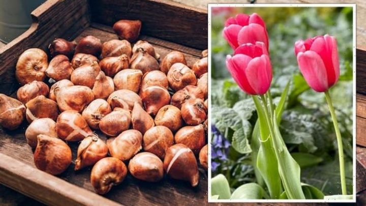 Gardening expert explains why you should avoid planting tulip bulbs now or risk 'disease'