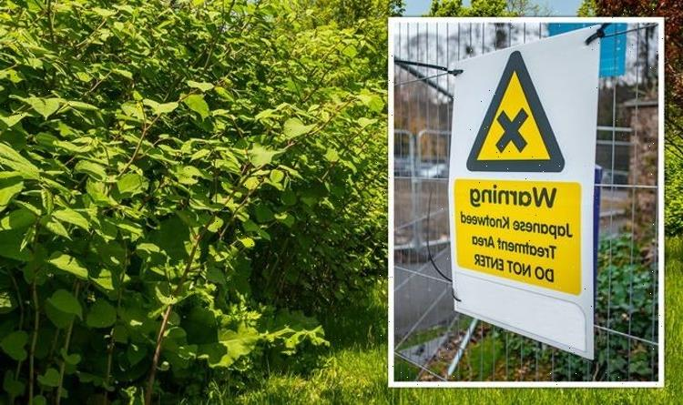 Japanese Knotweed cases surge in the UK – homes close to water or railway most at risk