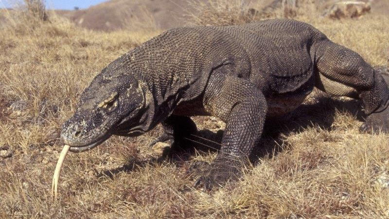 Komodo dragon joins the list of endangered species