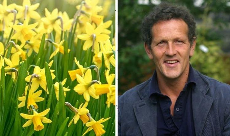 'To do what it does best!' Monty Don shares tips for planting daffodils – 'best' time now